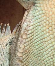 Male iguanas have much larger pores.