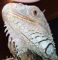 A sexually mature male iguana will have larger jowls.
