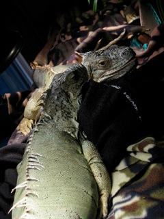 adult female iguana