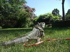 give your iguana access to unfiltered sunlight