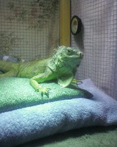 iguanas from babies to seniors need homes