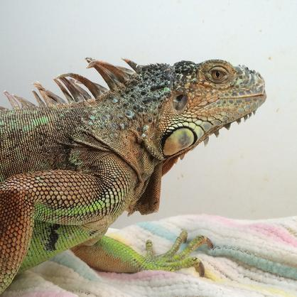 iguana for adoption, not tame