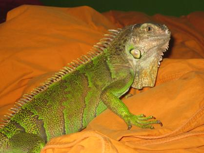 young male iguana