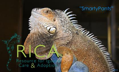 young male iguana for adoption