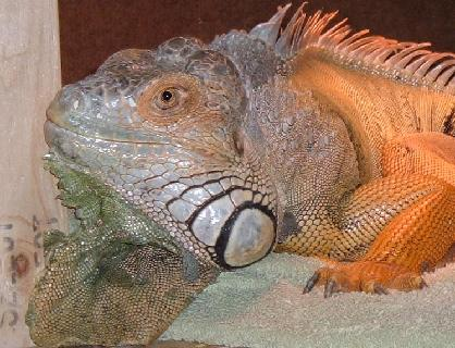 Read the F-E-L-T-S of iguana care