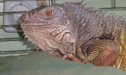 Green Iguanas are native to Mexico, Central and parts of South America