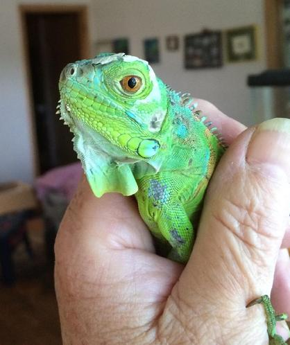 baby iguana for adoption