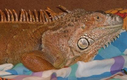 Have your vet check out your adopted iguana