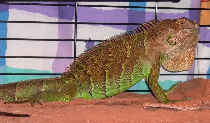 Help us to find homes for iguanas!