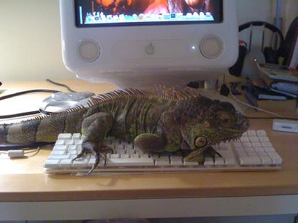 Iguanas are very interactive