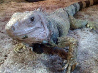 feed your iguana a diet rich in dark greens.