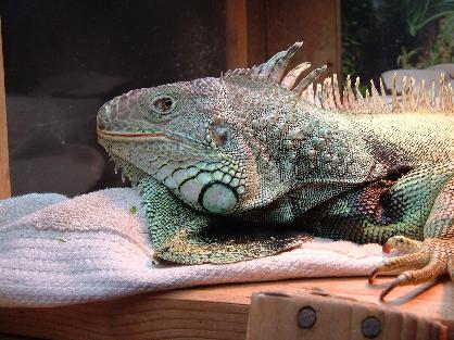 Keep your iguana a large enclosure. Six feet tall and 8 feet long, minimum.