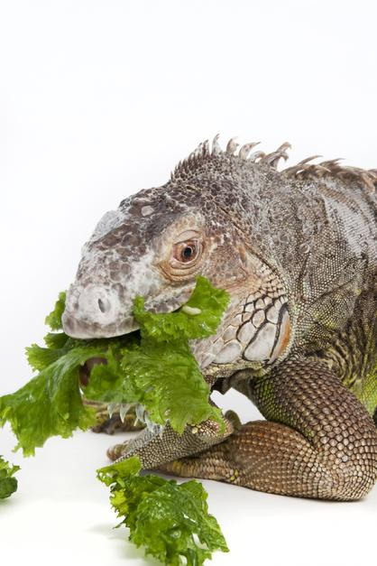 senior iguana eating greens