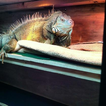 large female iguana