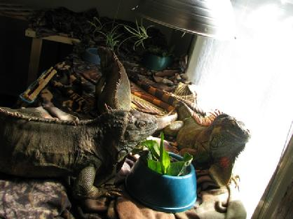 a room is necessary to house multiple iguanas