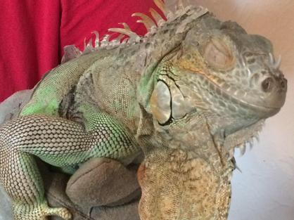 female iguana for adoption