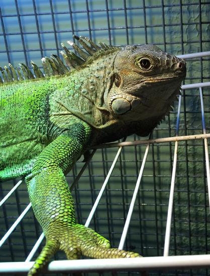 special needs iguana for adoption